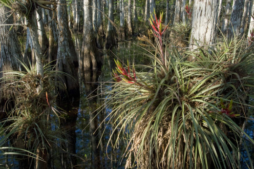 Cypress dome with blooming Stiff-leafed Wild Pine.  Everglades National Park, Florida.