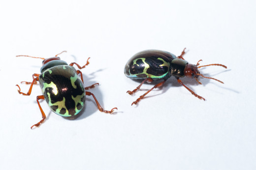 Beetles from a Costa Rican cloud forest