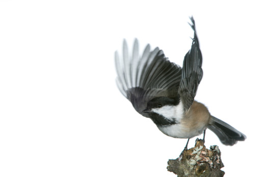 Black-capped Chickadee taking off.  The image I was after!