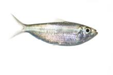 Scaled Herring