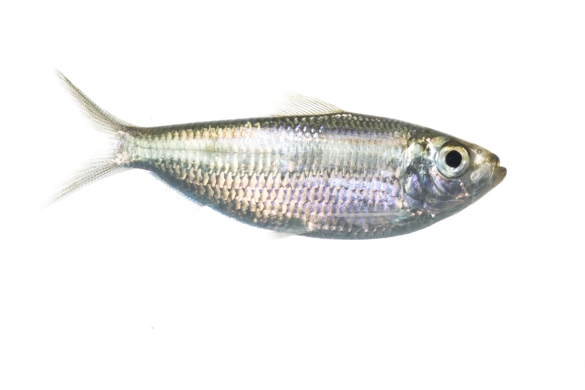 Scaled herring for Gulf fish species