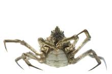 Longnose Spider Crab