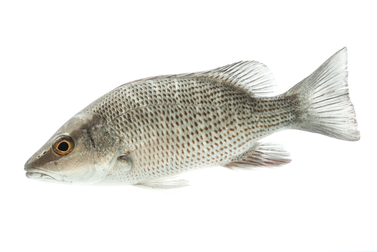 grey mangrove snapper