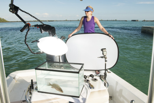 My wife Carrie holds the background for my field studio while I photograph a Grey (Mangrove) Snapper in the fish tank,