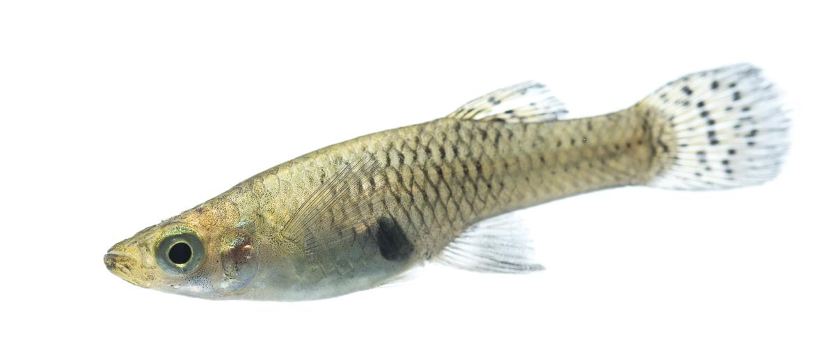 Eastern Mosquitofish (Gambusia holbrooki)