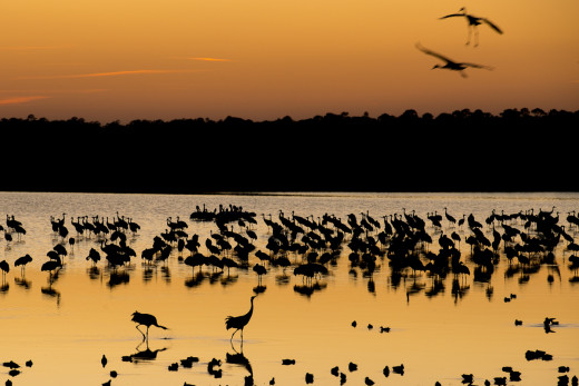 Hundreds of Sandhill Cranes join a small flock of White Pelicans and thousands of ducks to roost in the Click Ponds at Viera Wetlands.