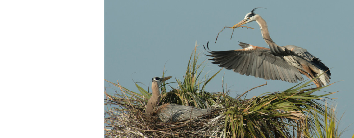 Great Blue Heron Courtship