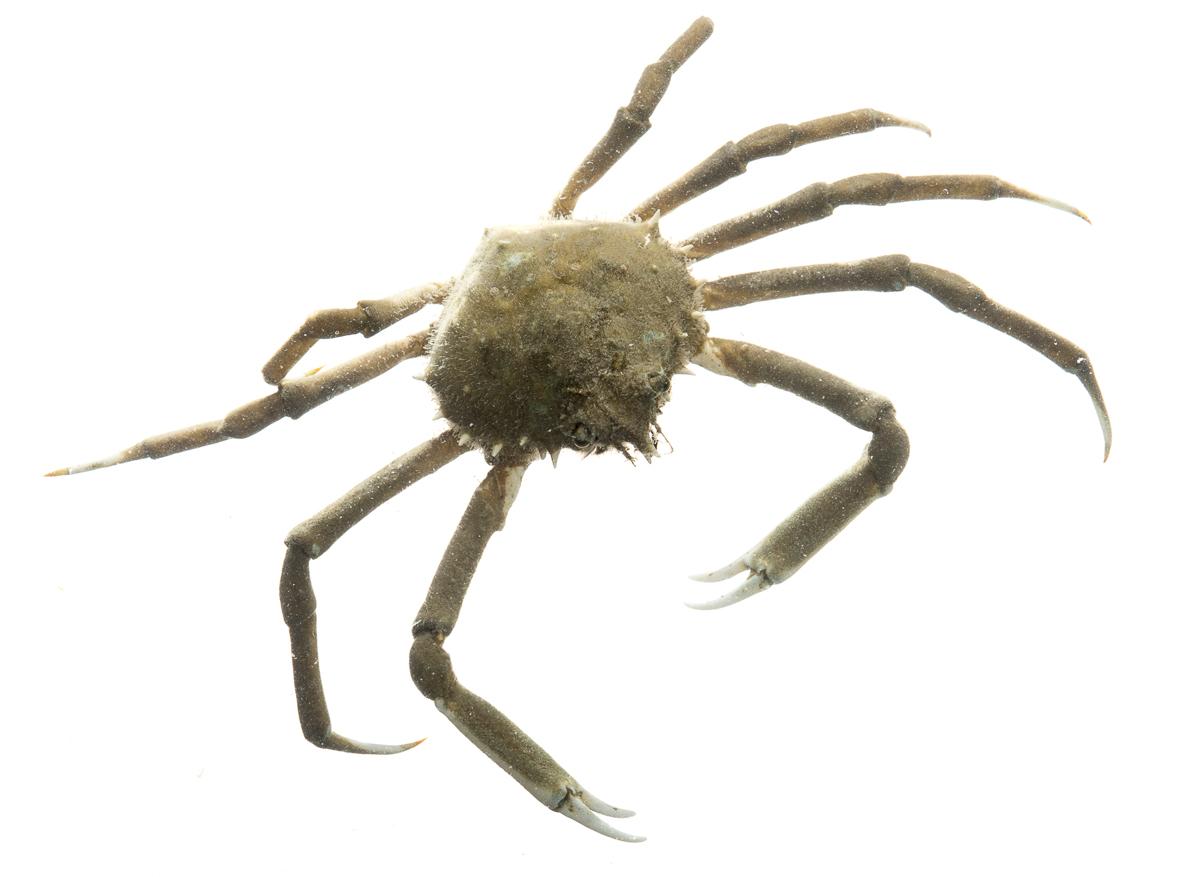 Spider crab - photo#30