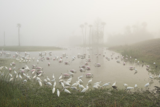 Still from Time Lapse of Feeding Frenzy of Egrets, Herons, Spoonbills, Storks, and Ibis.  Orlando Wetlands Park, Christmas.