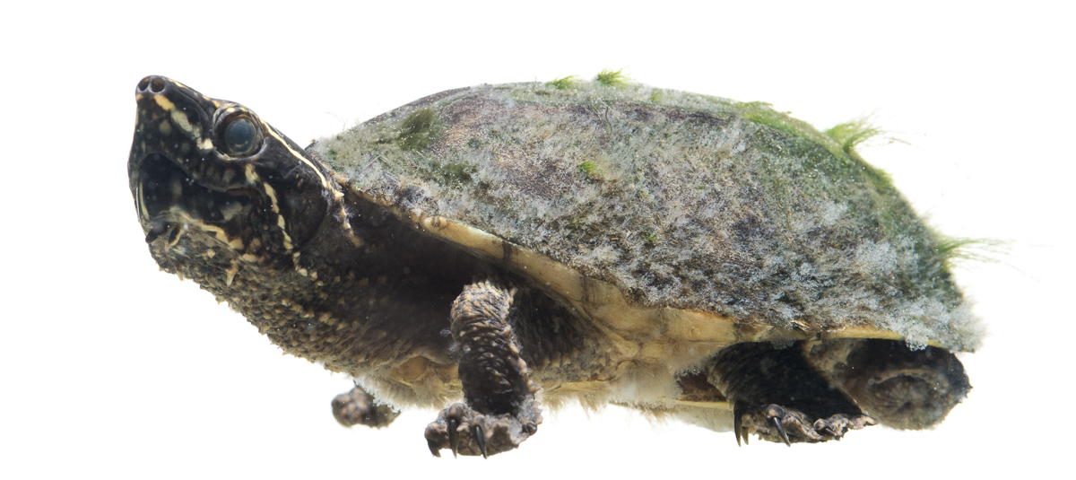 common musk turtles also known colloquially as stinkpots are common ...