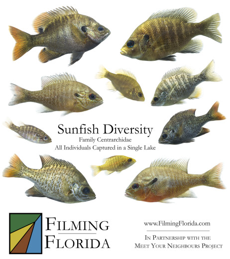 Sunfish Diversity - Family Centrarchidae