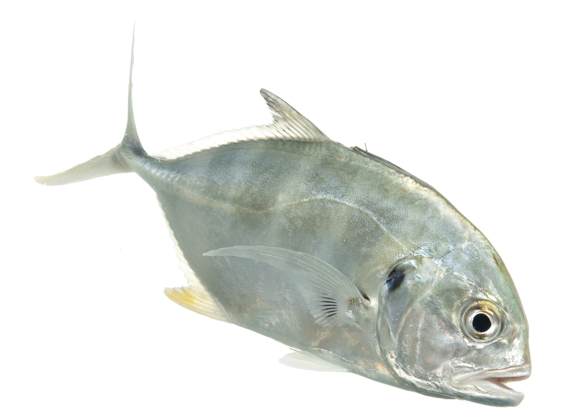 Crevalle jack for What is a jack fish