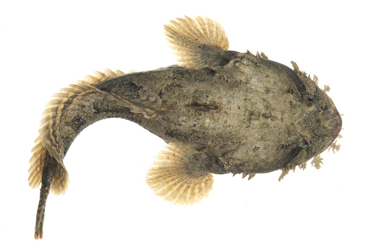 Gulf toadfish for Gulf fish species