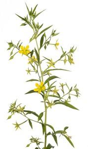 Anglestem Primrose-Willow (Ludwigia leptocarpa).