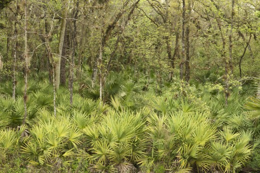 Spring in the swamp.  Tosohatchee Wildlife Management Area.