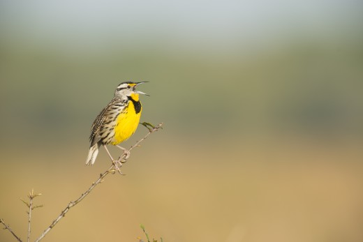 Eastern Meadowlark (Sturnella magna) singing.