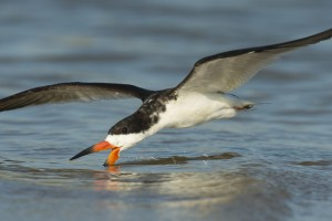 Black Skimmer feeding in surf at dusk.