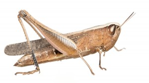 Brown Winter Grasshopper (Amblytropidia mysteca)