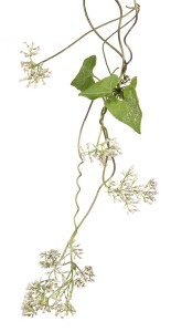 Climbing Hempvine (Mikania scandens)