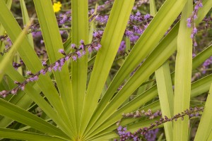Blazingstar (Liatris sp.) in bloom in pineland. Withlachoochee State Forest.