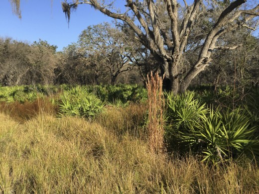 Fall Grasses and palmettos under oaks.