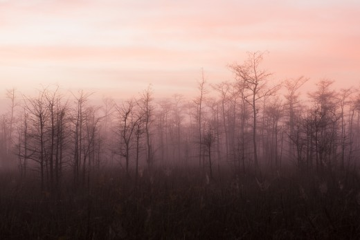 Predawn fog through bare cypress.  Big Cypress National Preserve