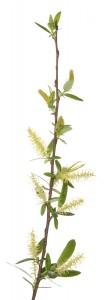 Coastal Plain Willow (Salix caroliniana)
