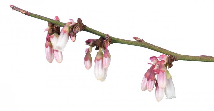 Highbush Blueberry (Vaccinium corymbosum)